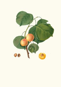 Albicocca luciente o, siu Alessandrina gialla precoce. [Yellow apricot] (1817-1839)