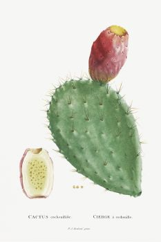 Cactus Cochenillifer Image from Histoire des Plantes Grasses (1799)  (Original from Biodiversity Heritage Library)